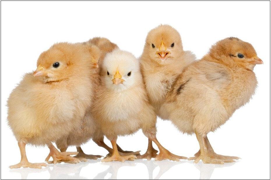 Kuřata